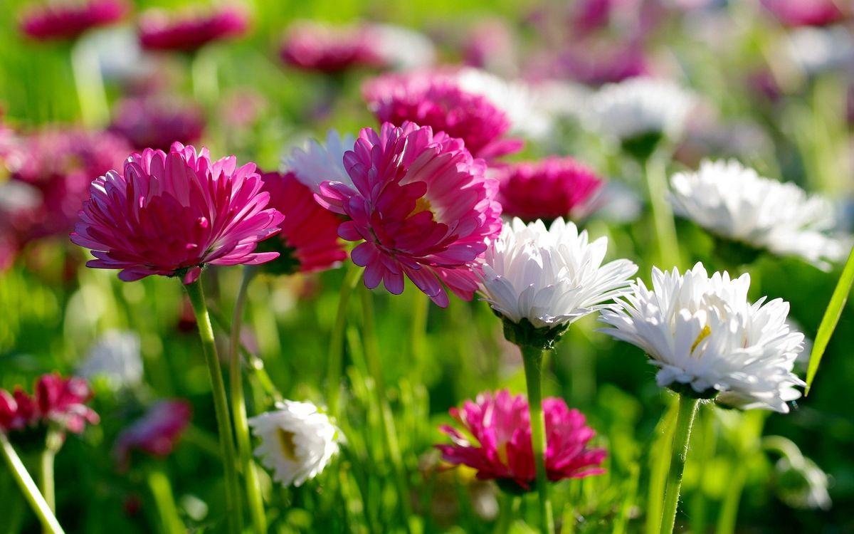Фото бесплатно астры, лепестки, розовые, белые, стебли, листья, зеленые, цветы