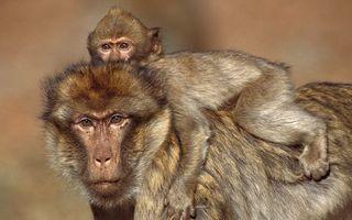 Фото бесплатно макаки, обезьяны, мама