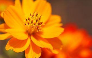Фото бесплатно цветок, лепестки, оранжевые