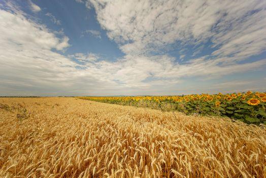 Photo free field, ears, sunflowers