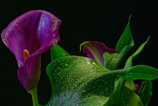 Photo free Purple Calla, plant, flower