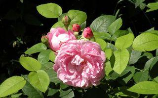 Бесплатные фото роза, лепестки, бутоны, розовые, листья, зеленые