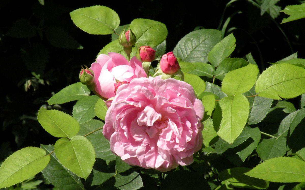 Фото бесплатно роза, лепестки, бутоны, розовые, листья, зеленые, цветы