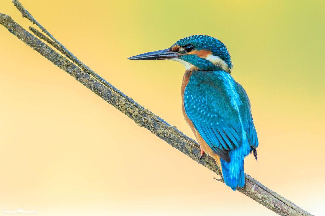 Фото Обыкновенный зимородок птица птица на ветке - бесплатные картинки на Fonwall