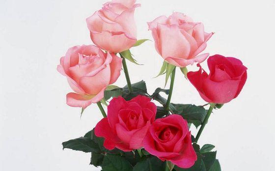 Фото бесплатно розы, красные, розовые