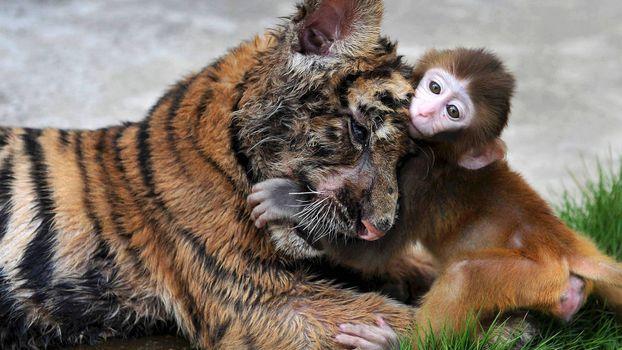Фото бесплатно тигр и обезьянка, друзья, ситуации