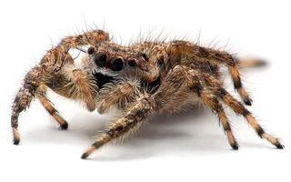 Бесплатные фото паук,лапы,волосы,глаза,окрас