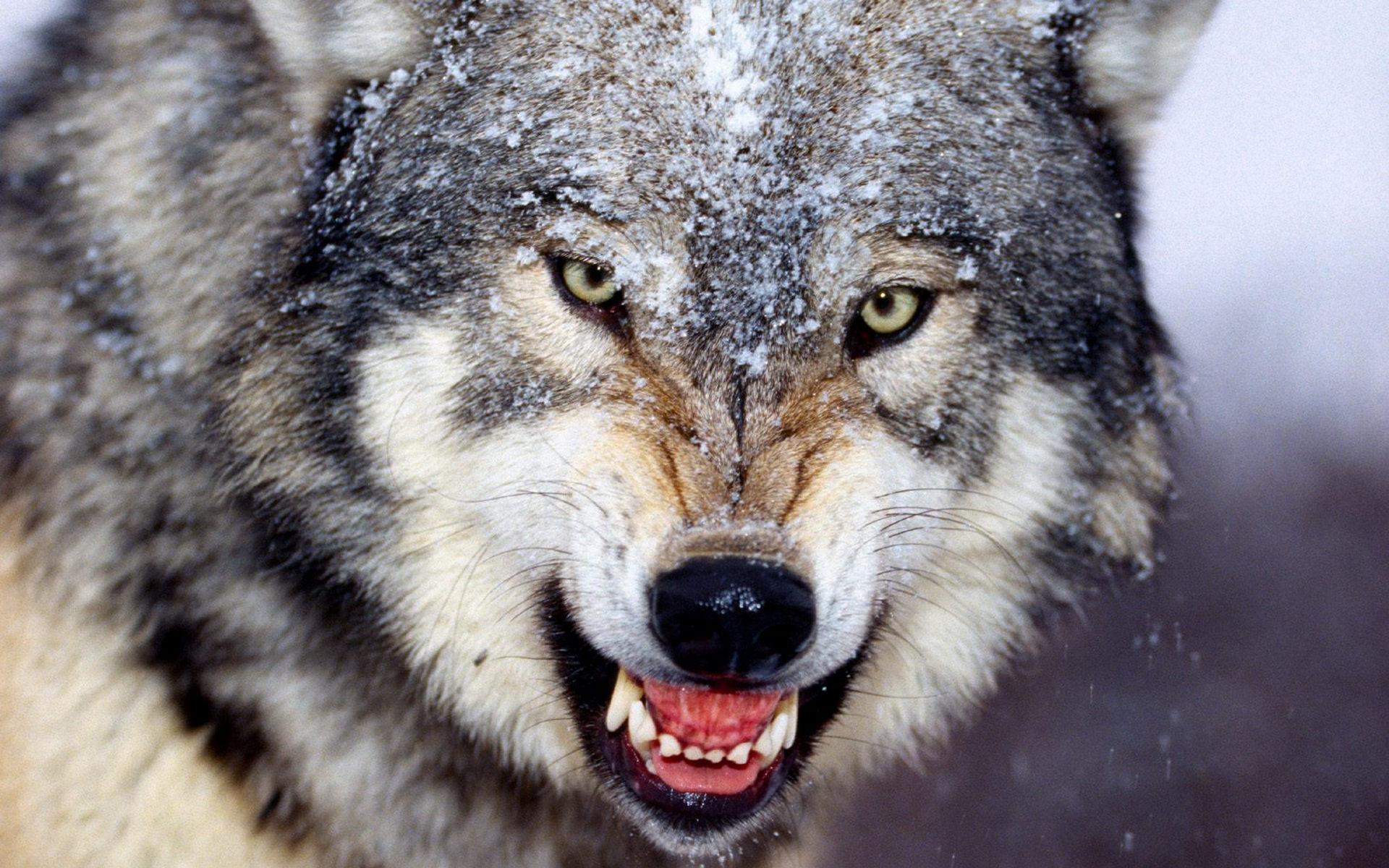 Беременная волчица самый опасный зверь 1168
