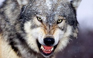 Фото бесплатно волк, серый, хищник, оскал, зубы, шерсть, снег