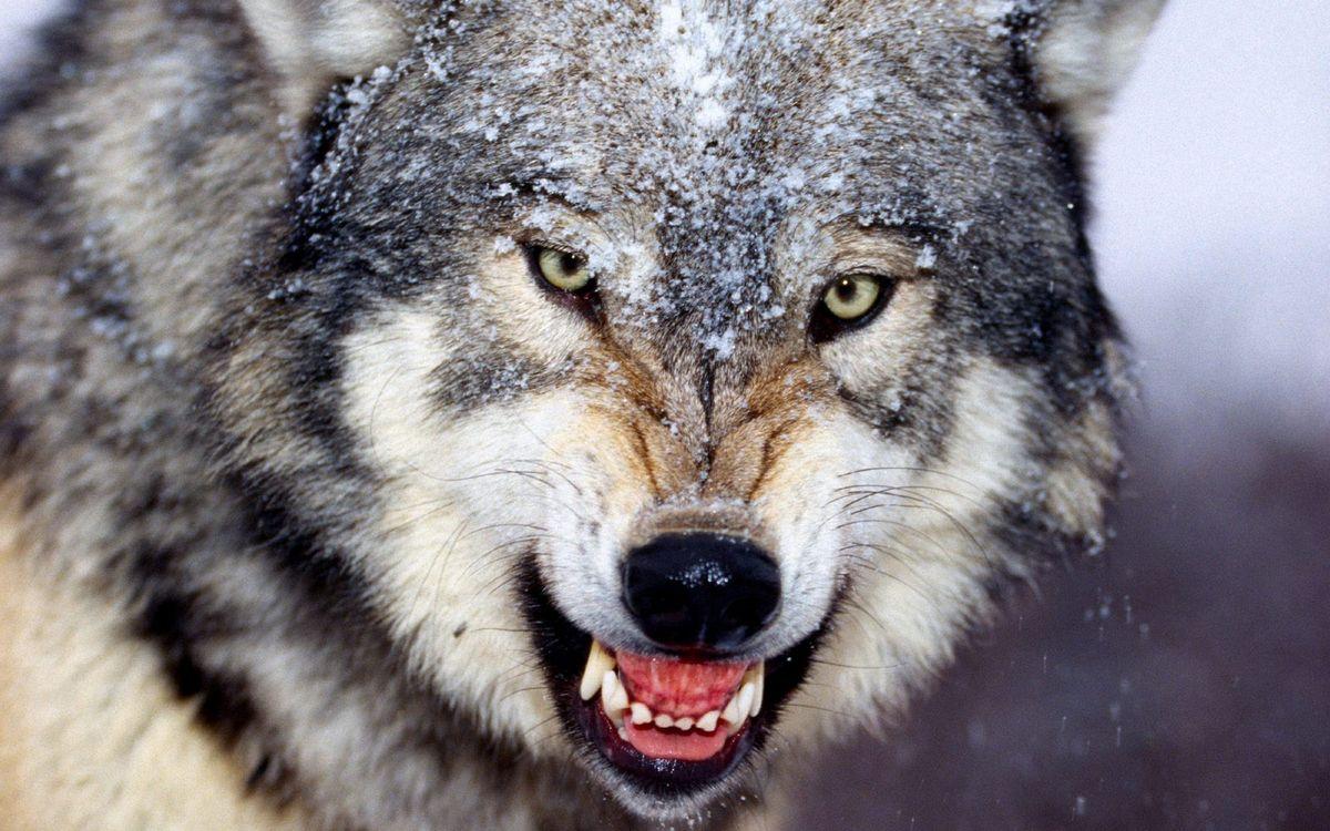 Обои волк, серый, хищник, оскал, зубы, шерсть, снег на телефон | картинки животные