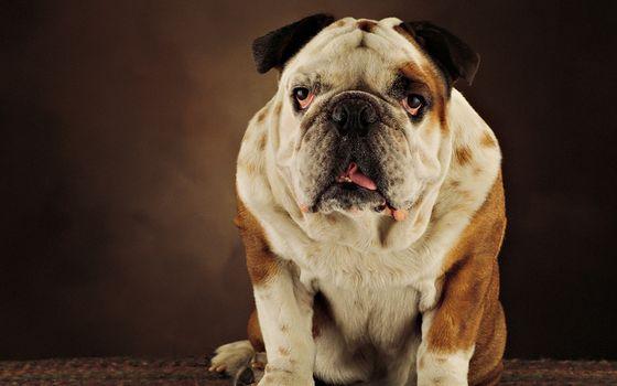 Photo free English bulldog, muzzle, paws