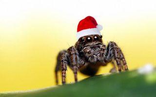 Бесплатные фото паук,глаза,лапы,шерсть,шапка,санта клаус