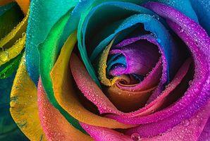 Фото бесплатно роза, цветок, макро