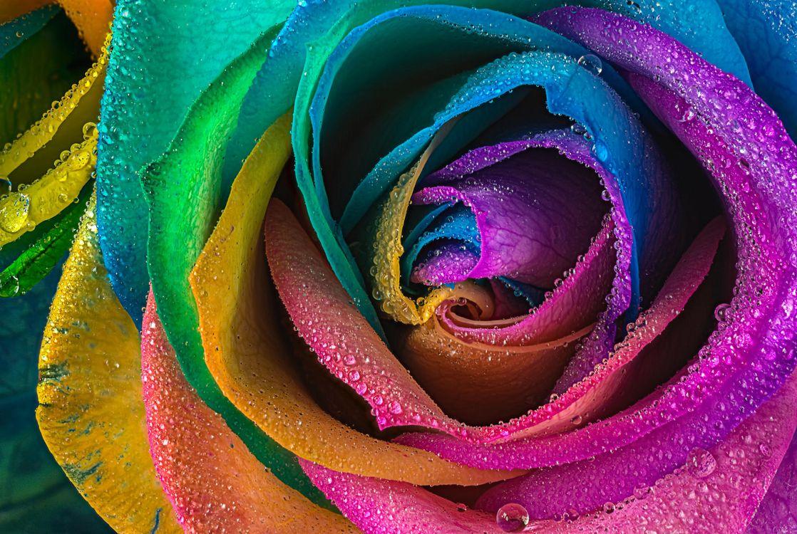 Фото бесплатно роза, цветок, макро - на рабочий стол