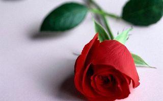 Бесплатные фото роза,лепестки,красные,листья,стебель,зеленые