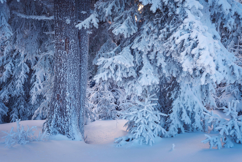 снег ветви лес snow branches forest  № 442909 без смс