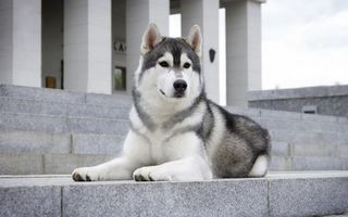 Фото бесплатно хаски, пес, морда, лапы, шерсть, лестница, здание