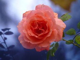 Фото бесплатно роза, розы, цветок, цветы, флора