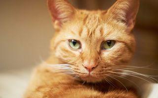 Рыжий кот с белыми усами