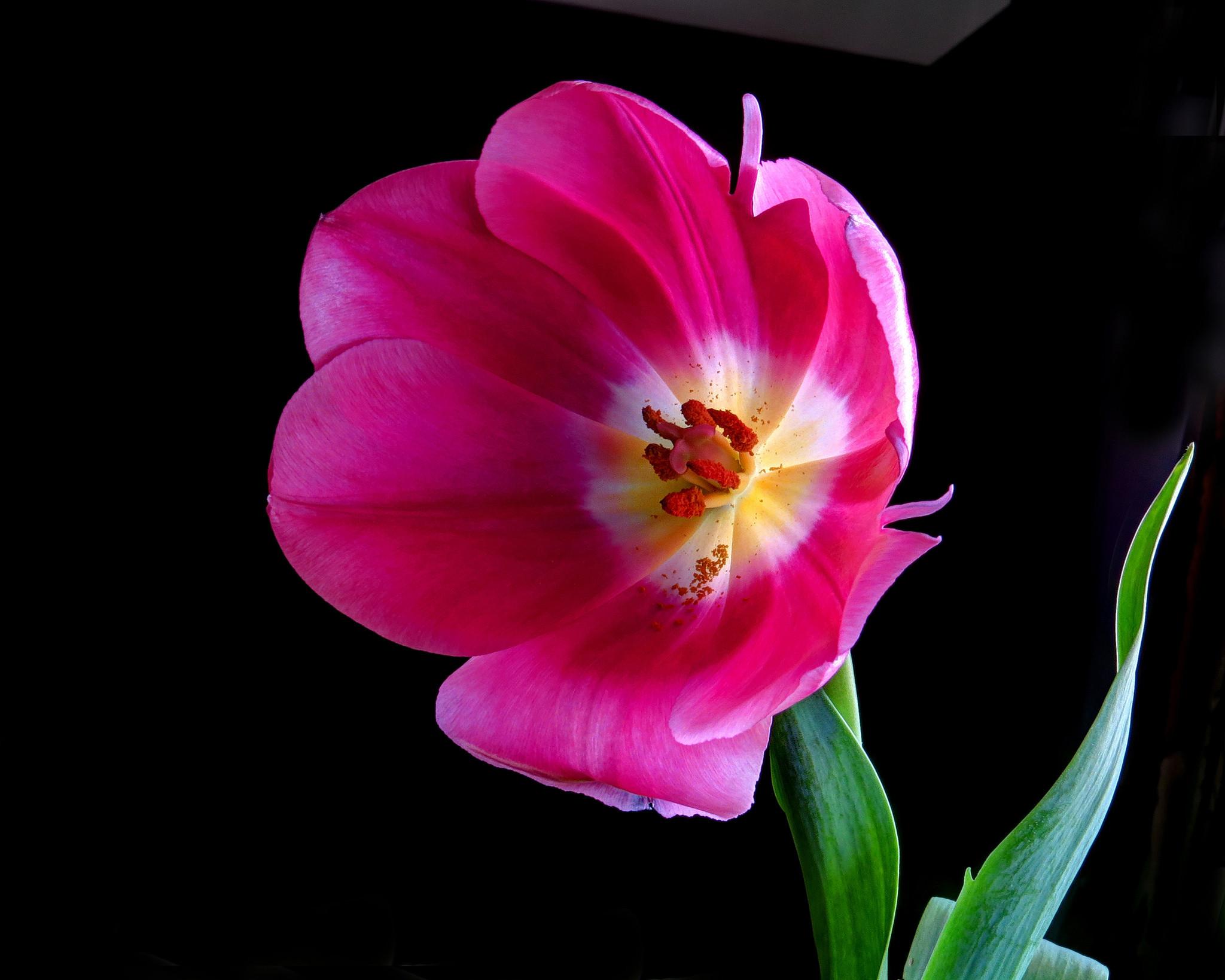 обои Pink Tulip, тюльпан, цветок, флора картинки фото