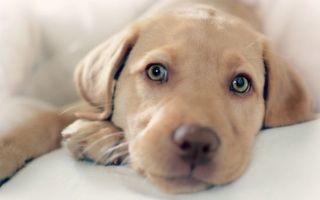 Фото бесплатно песик, щенок, лабрадор, морда, взгляд, лапы