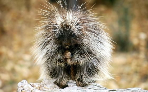 Photo free porcupine, cub, furry