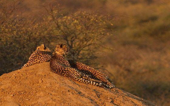 Бесплатные фото гепарды,пара,отдых,песок