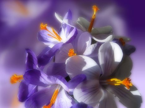 Фото бесплатно крокусы, цветы, флора