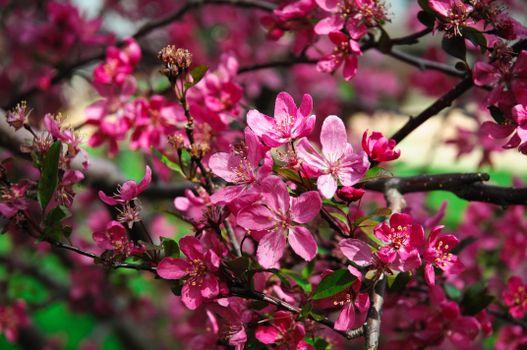 Photo free sakura branches, pink flowers, blooming tree
