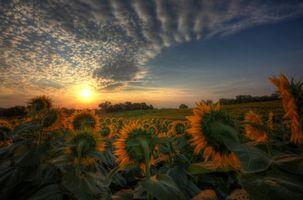 Бесплатные фото закат,поле,подсолнухи,пейзаж