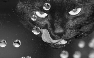 Фото бесплатно кот, пьет, воду, язык, пузыри, черно-белое