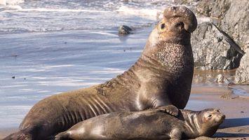 Заставки морской слон, тюлень, ласты