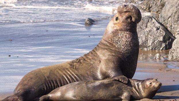 Фото бесплатно морской слон, тюлень, ласты