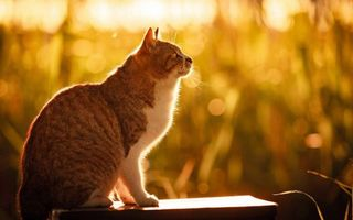 Фото бесплатно кошка, морда, взор, уши, лапы, шерсть