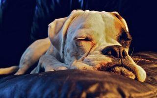 Бесплатные фото собака,спит,морда,уши,лапы,шерсть,подушка