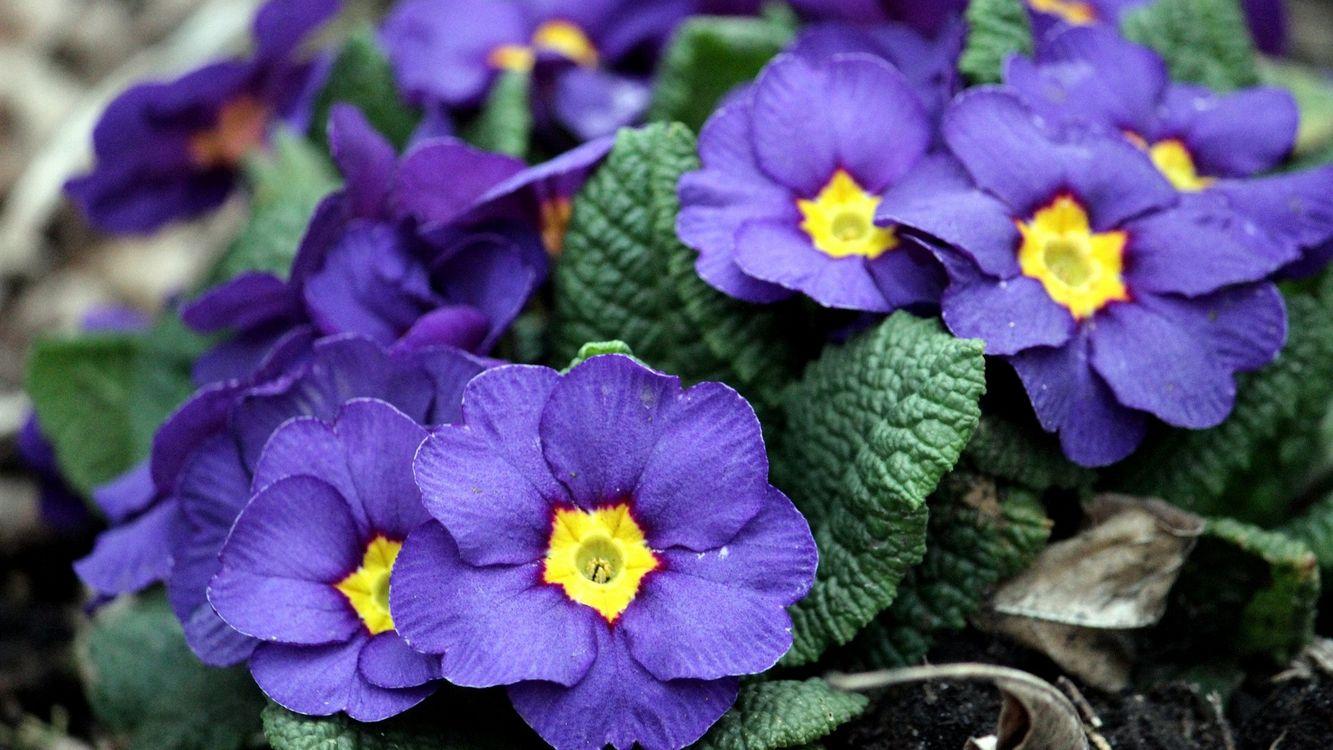 Фото бесплатно цветочки, лепестки, фиолетово-желтые, листья, зеленые, цветы