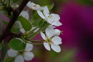 Обои Cherry, blossoms, макро, ветка, цветы, листья