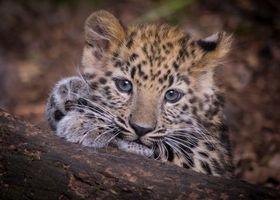 Фото бесплатно Леопард, хищник, животное