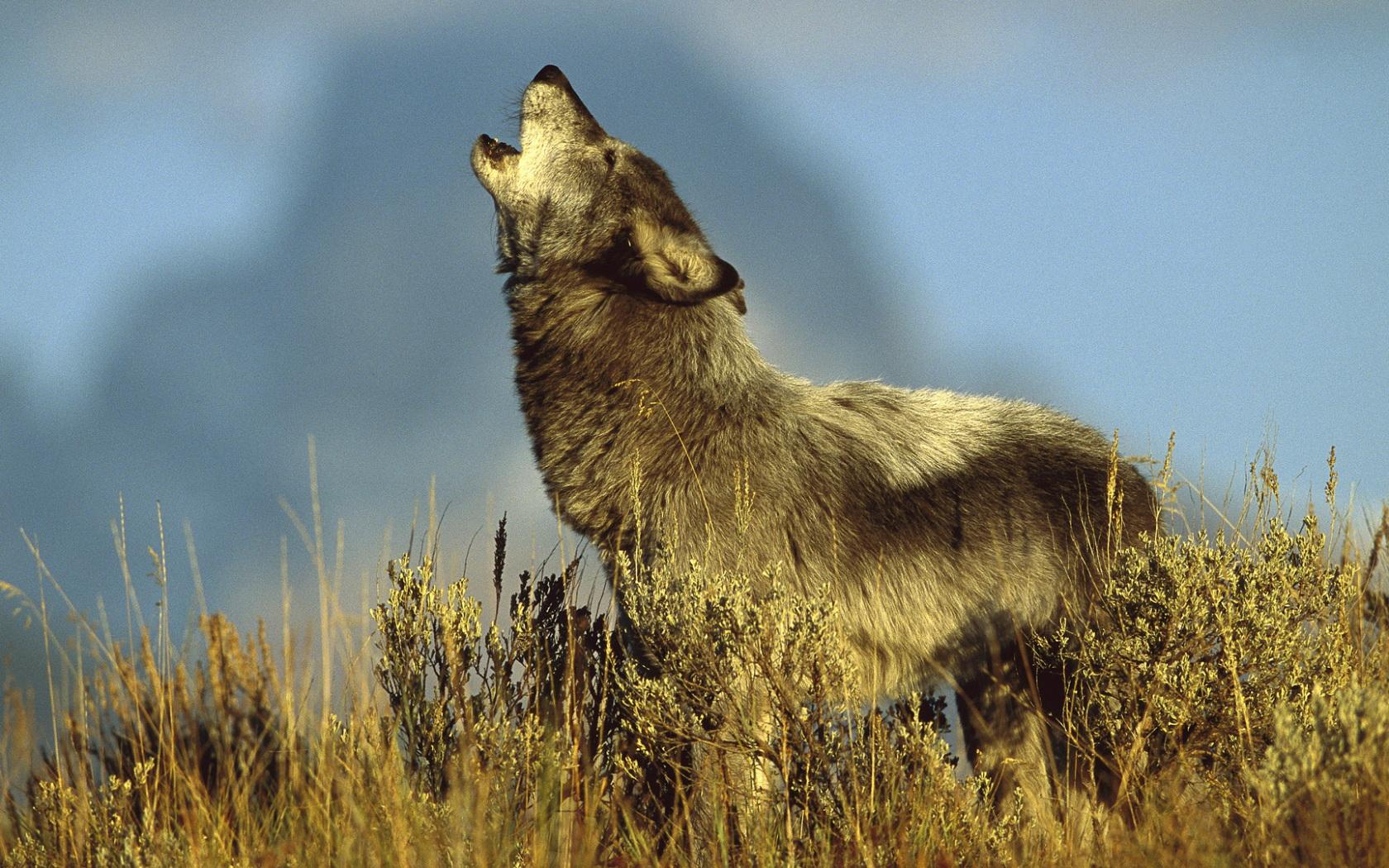 волк, хищник, воет