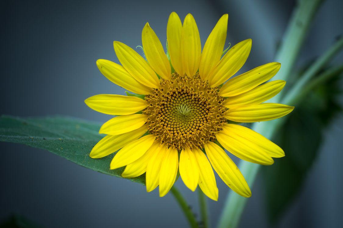 Картинка цветок, подсолнух на рабочий стол