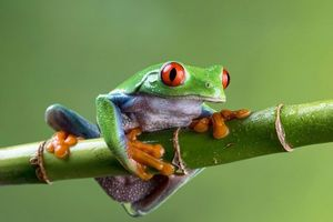 Фото бесплатно ветка, лягушка, большие глаза