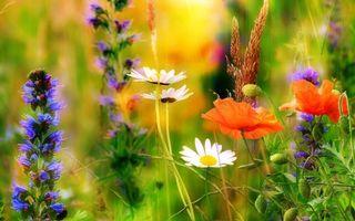 Бесплатные фото поле,цветы,маки,ромашки,флора