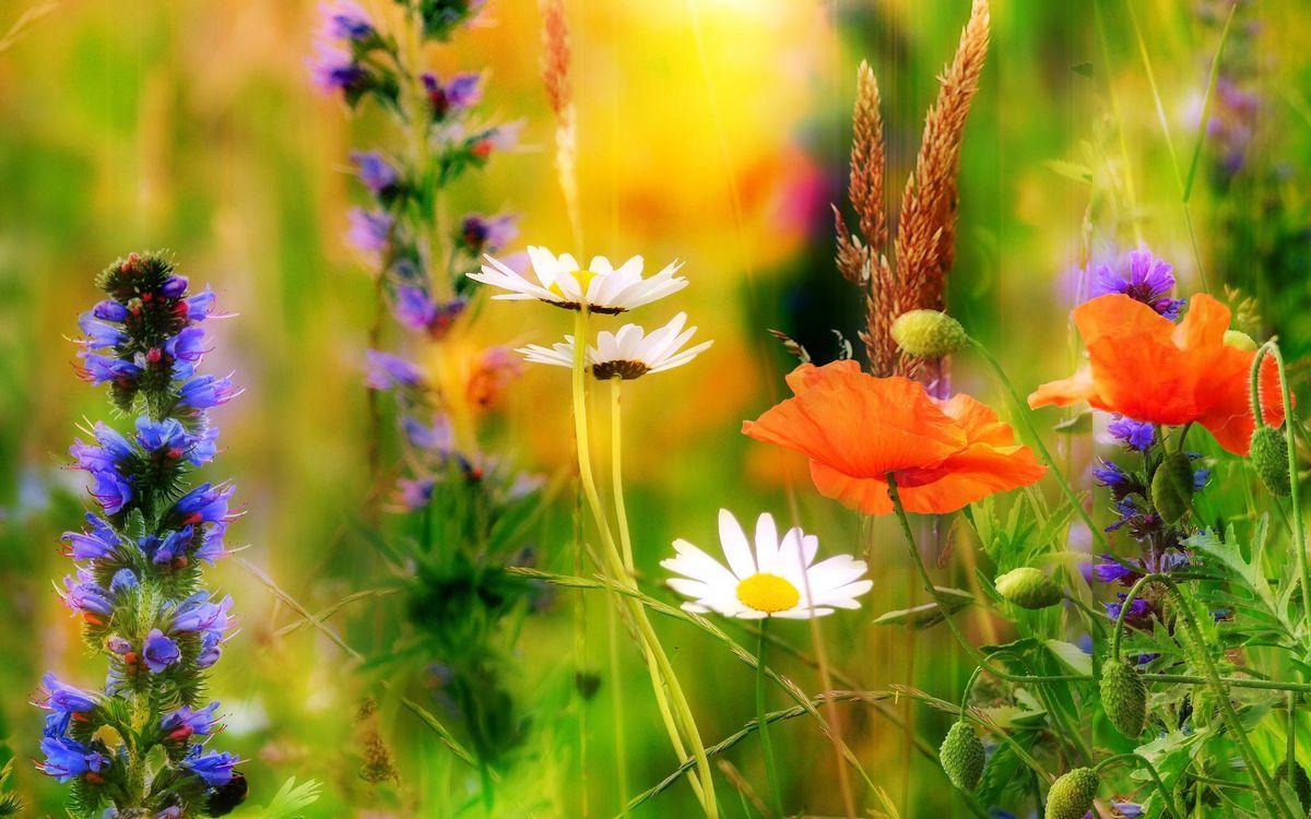 Обои поле, цветы, маки, ромашки, флора на телефон | картинки цветы