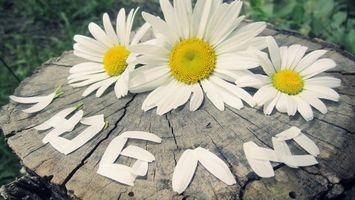 Фото бесплатно ромашки, лепестки, слово
