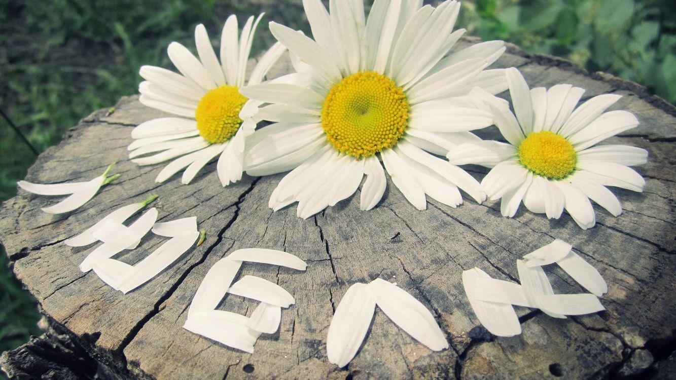 Фото бесплатно ромашки, лепестки, слово, люблю, пень, цветы, настроения