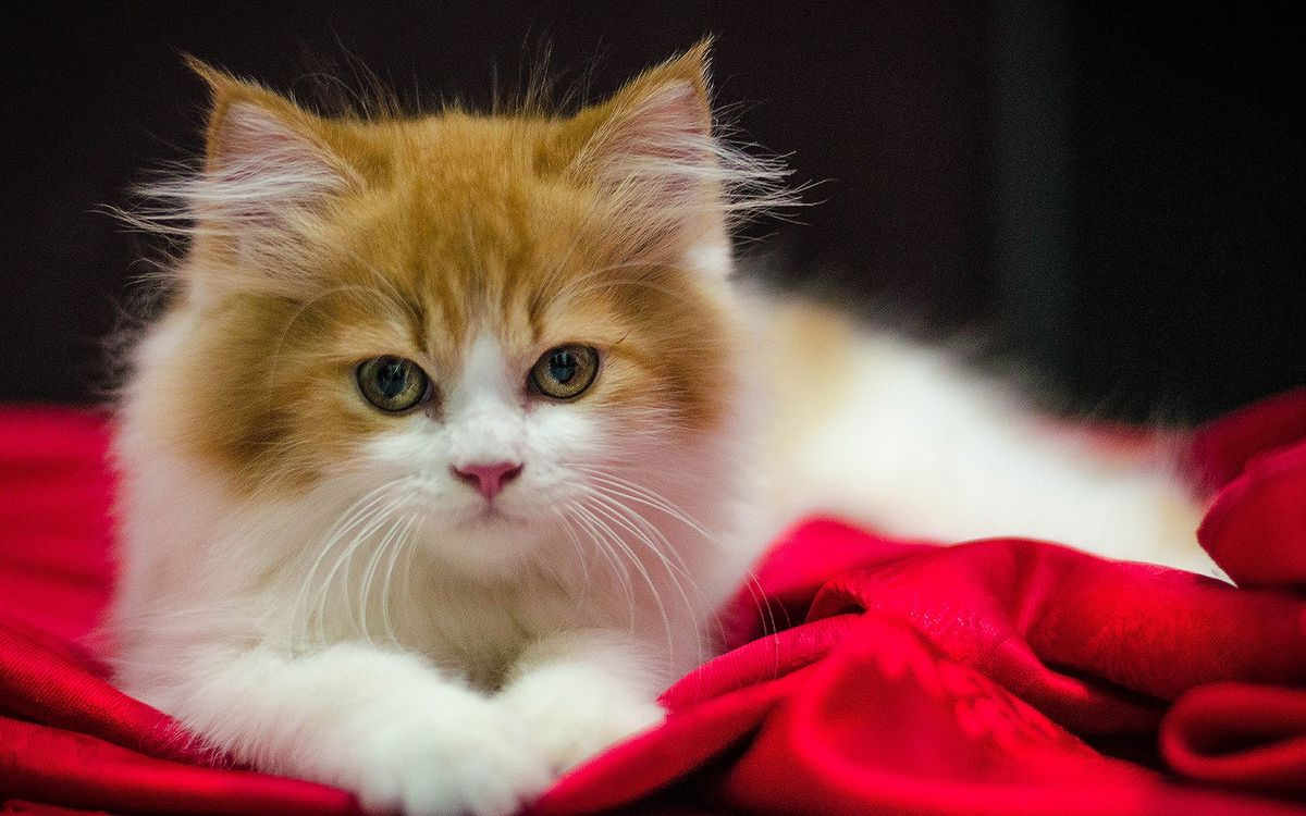 Фото бесплатно котенок, белый, рыжая голова, ушки, кровать, красное, одеяло, кошки