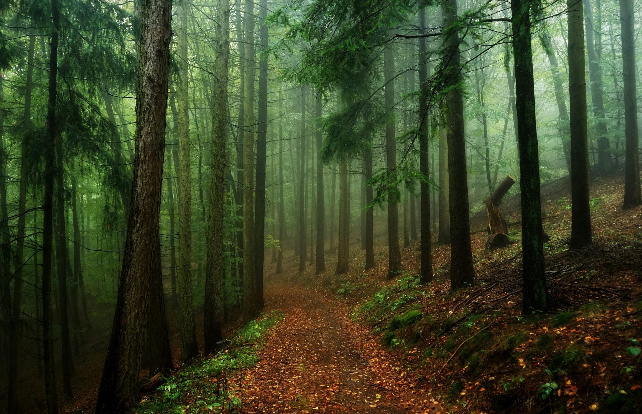 Обои лес, деревья, дорога, туман