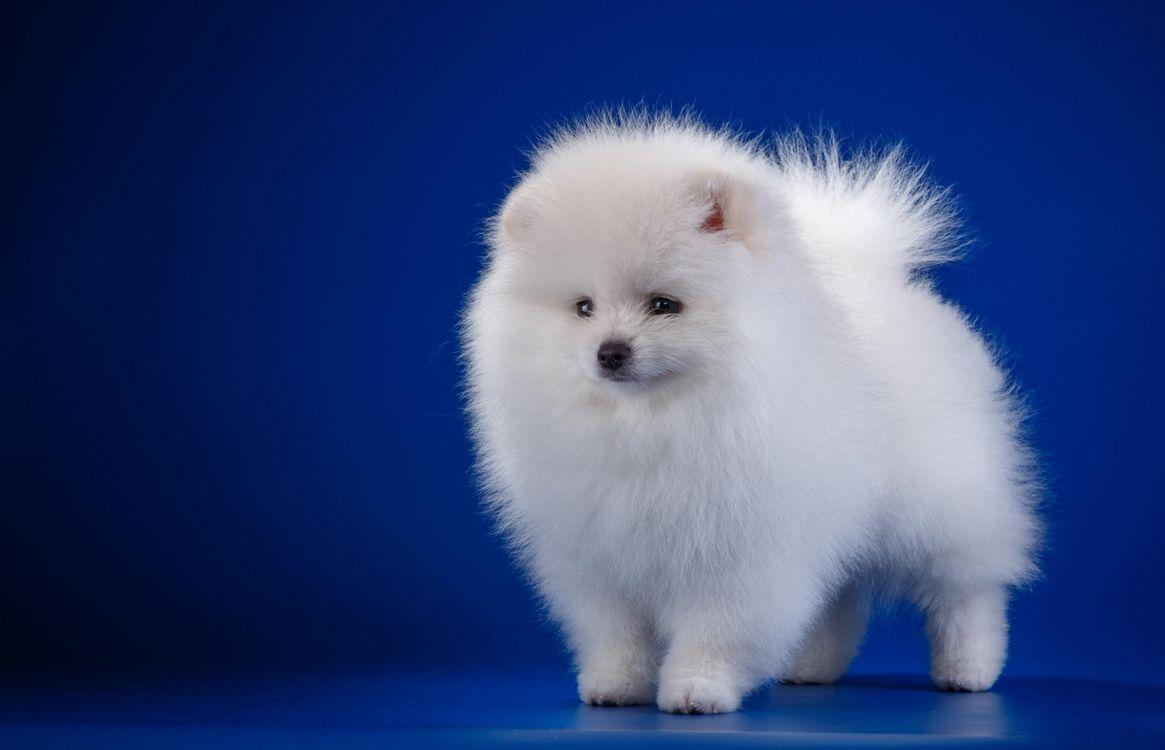 Фото бесплатно щенок, белый, шпиц - на рабочий стол
