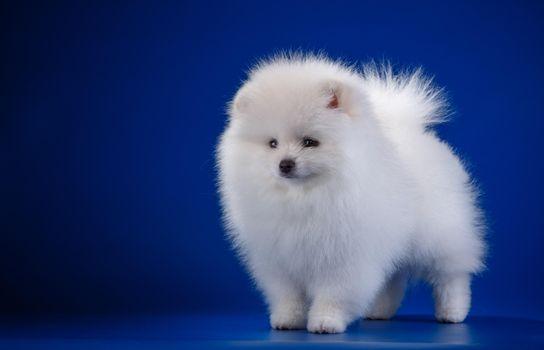 Фото бесплатно щенок, белый, шпиц