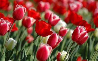 Бесплатные фото тюльпаны, бутоны, лепестки, стебли, листья, зеленые